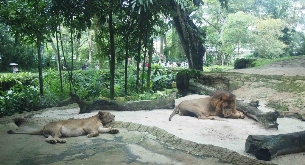 Chartered Limousine Services to Singapore Zoo